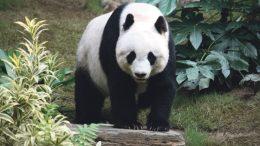 grosser_panda-1