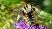 Bees_mating_August_2008-2