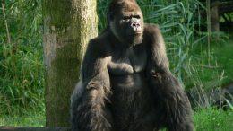 1280px-Gorilla_zoo-leipzig