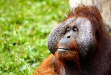New Great Ape Species Discovered