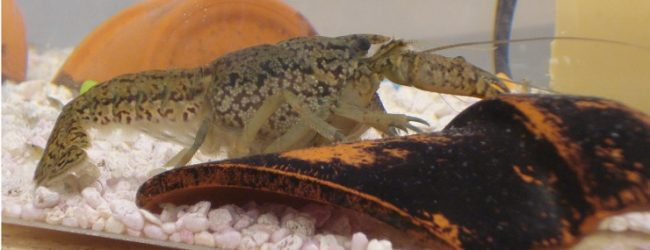The All-Female Crayfish Species