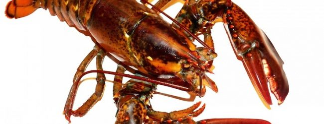 Why lobsters shouldn't be boiled alive