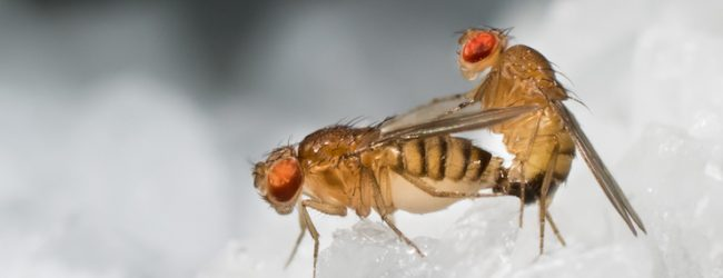 Research shows that fruit flies enjoy ejaculating