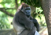 Newcastle volunteers on mission to save gorillas