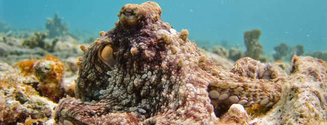 Social Cephalopods: Octopuses on Ecstasy