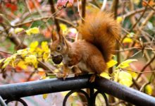 Acorn't believe it! Red squirrel population stabilizes in the North East
